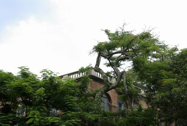 掩映在木棉树里的老房子