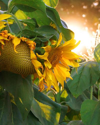 梵高的向日葵 寄身流水 我的搜狐 图片 163.jpg 400x500-梵高的向日葵