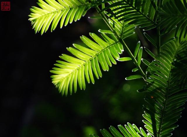 水杉的故事-在远古的天空下歌唱-我的搜狐