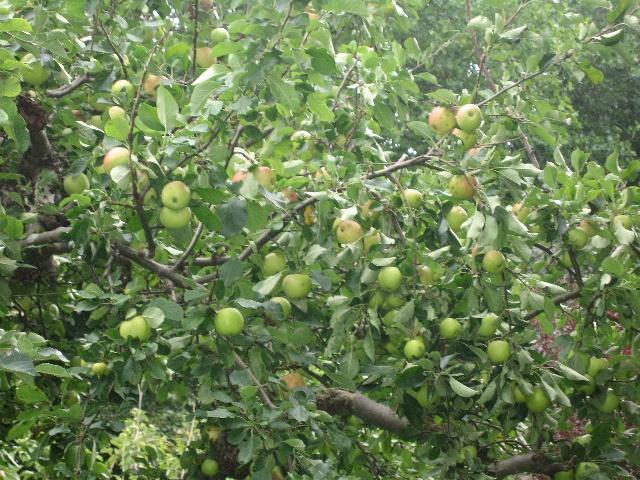 看着满树的苹果,真是开心啊,长这么大还是第一回自己上树摘苹果,呵呵.