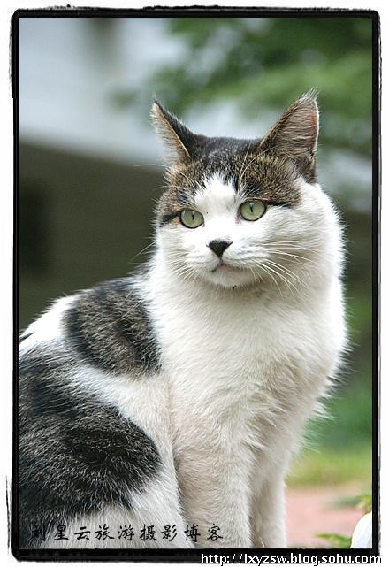 曼岛猫(马恩岛猫)