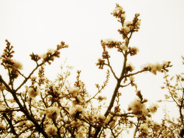 杏树叶子枝繁叶茂图片