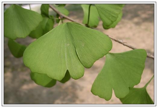 银杏叶子的成长过程