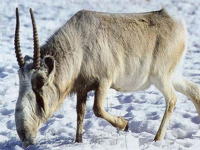 高鼻羚羊-动物的心我懂-我的搜狐