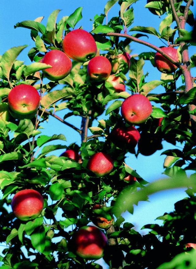 《秋天成熟的果子有哪些 》图片