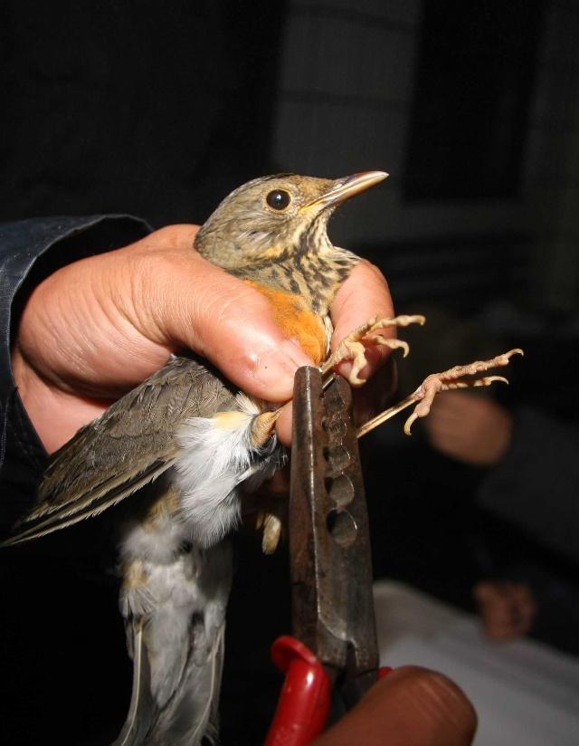 鸟类环志破解候鸟迁徙之谜 图