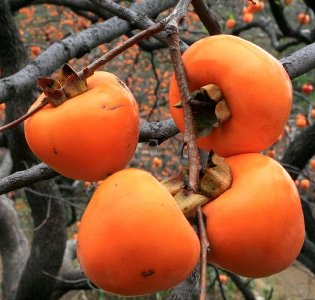 """今天天气很好,万里无云,太阳晒在身上刚刚好,暖暖的,一点都不热。我喜欢秋天,秋天是一个收获的季节,我喜欢的各种水果都在这个季节可以吃到。我的家乡是盛产柿子的,特别是山上,几乎家家户户都会种植,柿子树是山里人的摇钱树,做出的柿饼出口日本,韩国。小时候特别喜欢过年去舅老爷家,好吃的柿饼可以吃到饱,比蜜还要甜,不过柿子是凉的,现在不敢多吃了。 路边的柿树上果实累累,美不胜收。每年都会有很多人来观赏,大呼小叫着""""真美啊""""。 丰收了,满树的柿子"""